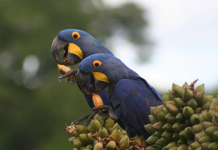 Pantanal - Blue Macaw