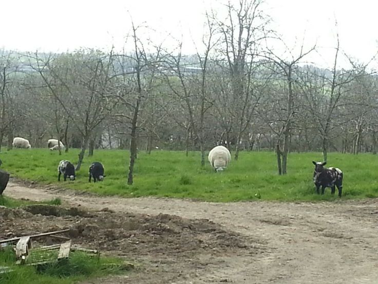Some of the sheep and lambs in the orchard