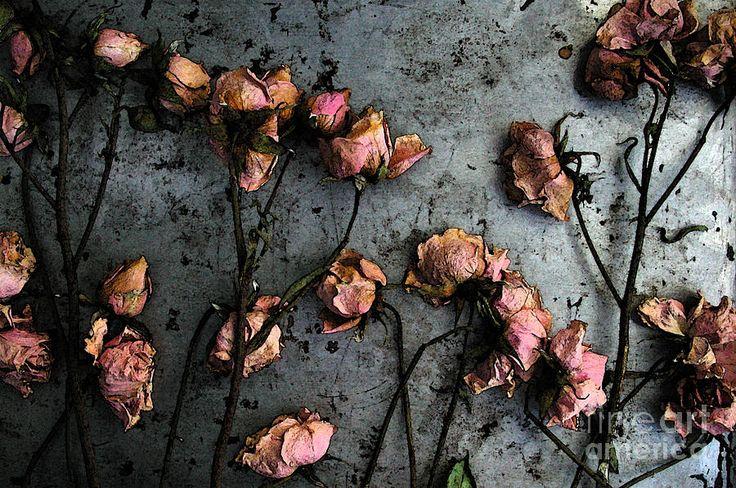 Dead Roses 5 Photograph - Dead Roses 5 Fine Art Print - Kathi Shotwell