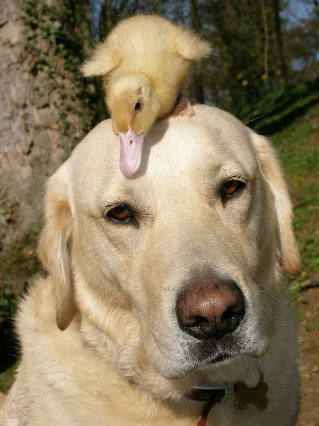The Yellow Lab and His Duckling. •••  (KO) Oh Punkin'! You've got a dang duck on your head! He's pretty cute, but if the neighbor's Rottweiler sees you like this he's gonna beat you up. Put the duck down gently and run!