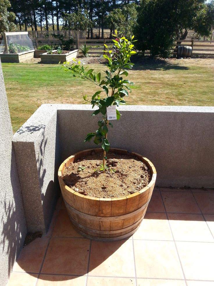 Mandarin Tree in half Wine Barrel planter
