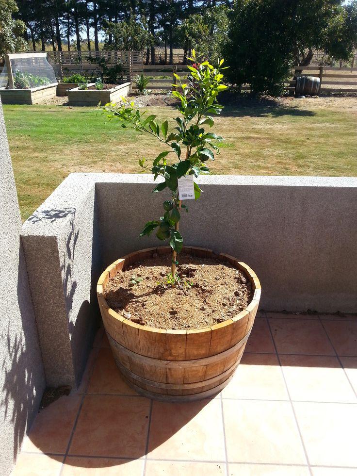 Mandarin Tree in half Wine Barrel planter