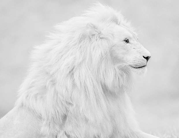 Incredible white lion!