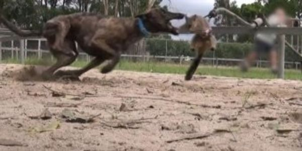 Trainers use piglets, bunnies and possums to train greyhounds. The small animals are viciously ripped apart by the dogs. (52070 signatures on petition)