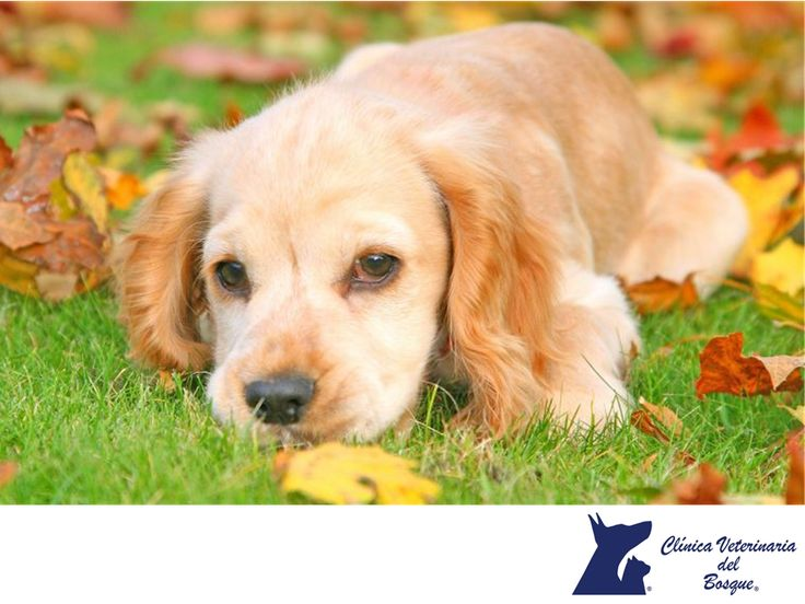 El otoño. CLÍNICA VETERINARIA DEL BOSQUE. En otoño con el cambio de estación se reducen las horas de luz y bajan las temperaturas, y es durante esta época que nuestras mascotas pueden resfriarse o sufrir dolores por artritis, sobre todo, en mascotas mayores. Además, nuestras mascotas mudan el pelo y se requiere de una revisión períodica. En Clínica Veterinaria del Bosque contamos con médicos expertos, los cuales podrán atender de forma integral. www.veterinariadelbosque.com…