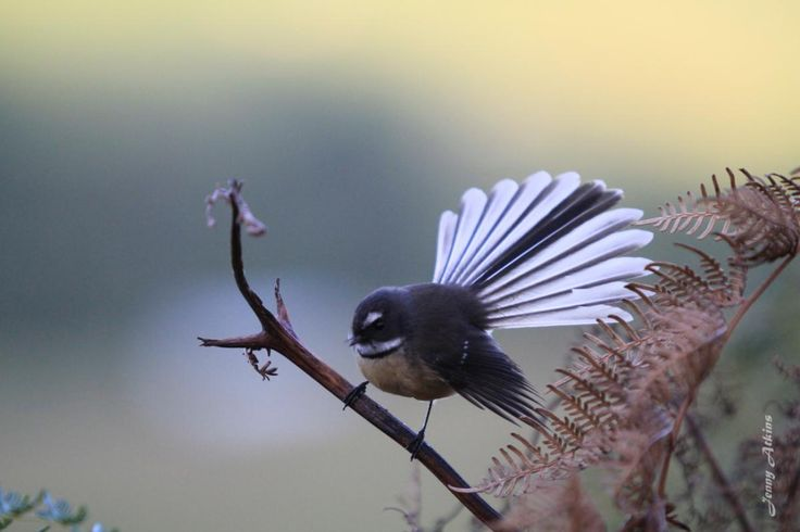 New Zealand fantail (Rhipidura fuliginosa) pied morph adult showing fanned tail