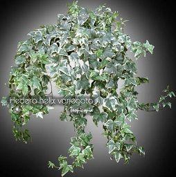 Hanging - Hedera helix variegata - English ivy, Variegated english ivy