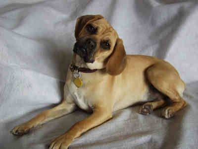 Full-Grown Puggles | puggle information image search ...