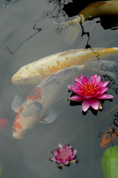 It's very relaxing to watch the unhurried, graceful movements of koi beneath the glassy stillness of the water.:
