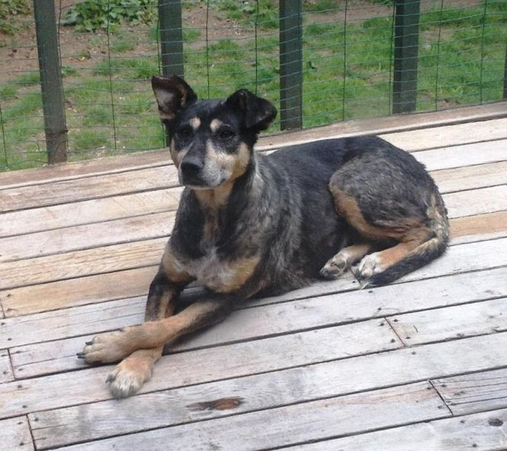 WA - Meet Morena, a Petfinder adoptable Shepherd Dog   Auburn, WA   Morena is a shepherd/lab mix we are guessing, she has a sable coat with tan markings. She basically...