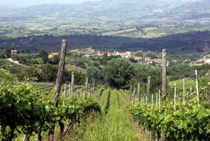 Mastroberardino Vineyard, near Napoli. novaserra « learnitalianwines