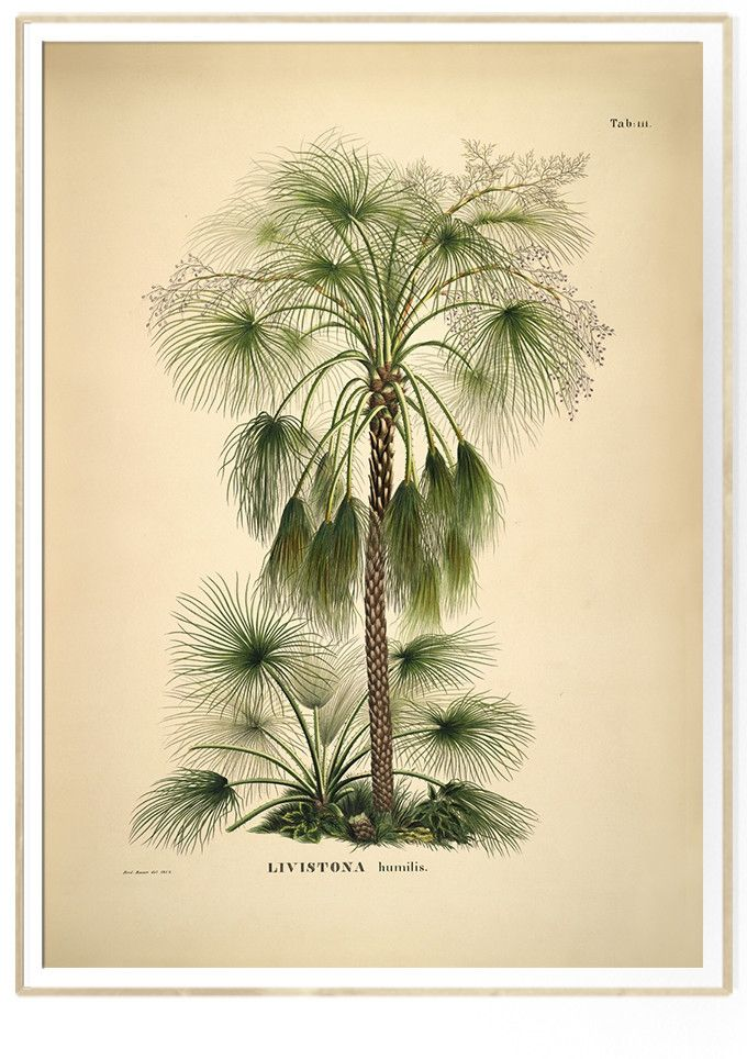 The Dybdahl Co LIVISTONA HUMILIS, Poster 50x70 via Prints. Click on the image to see more!