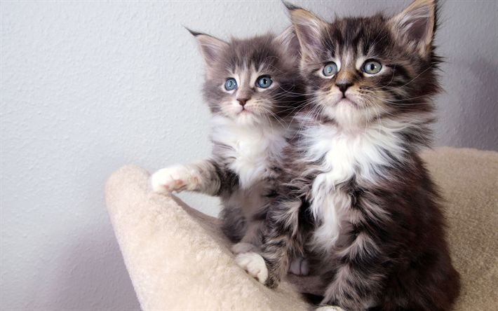 Download wallpapers American Curl Cat, kittens, 4k, cute animals, short-haired cats, gray kittens
