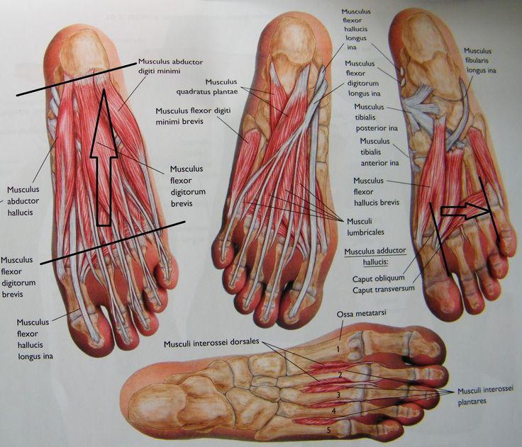láb anatómiai felépítése - Google keresés