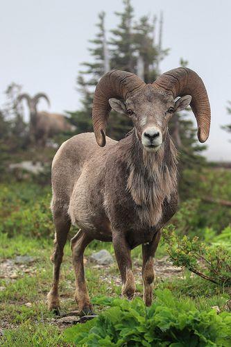 Big Horn Sheep <3