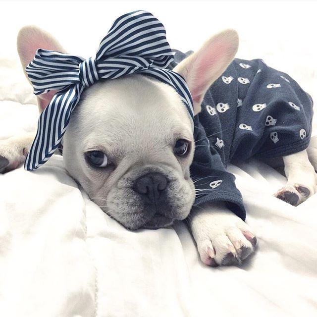 French Bulldog Puppy #ilikebigbowsandicannotlie                                                                                                                                                                                 More