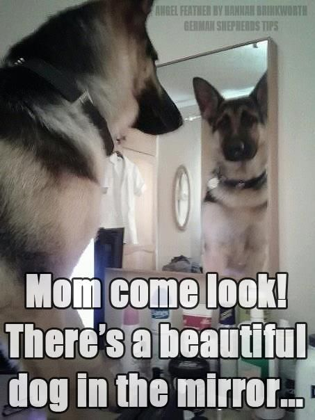 German Shepherd  #RePin by AT Social Media Marketing - Pinterest Marketing Specialists ATSocialMedia.co.uk
