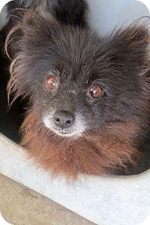 Pompton lakes, NJ - Pomeranian. Meet 8 poms, a dog for adoption. http://www.adoptapet.com/pet/13335927-pompton-lakes-new-jersey-pomeranian