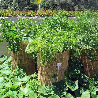 I Tages trädgård: Den optimala platsen för potatis?