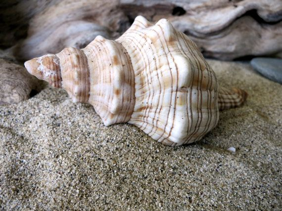 Horse Conch Seashell 3 3/4  Fasciolaria by MrsBeachComber on Etsy