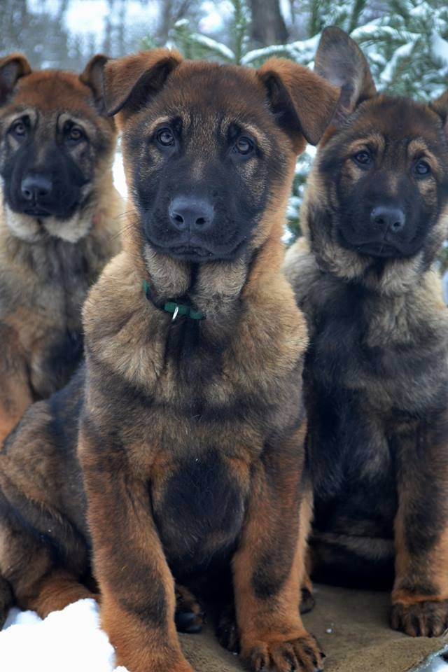 OMGOODness!!!!! German Shepherd Pups. SO serious, but SO adorable!! Stunning babies.