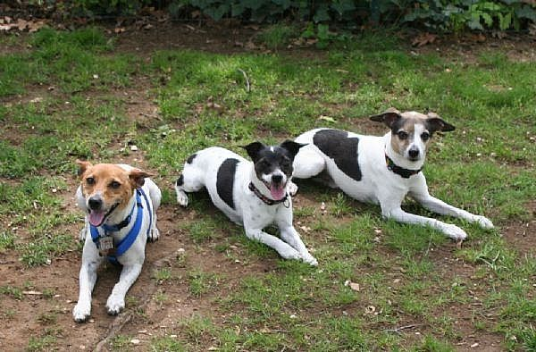 How to be a Good Rat Terrier Owner