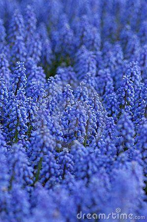 Een gebied van blauwe bloemen