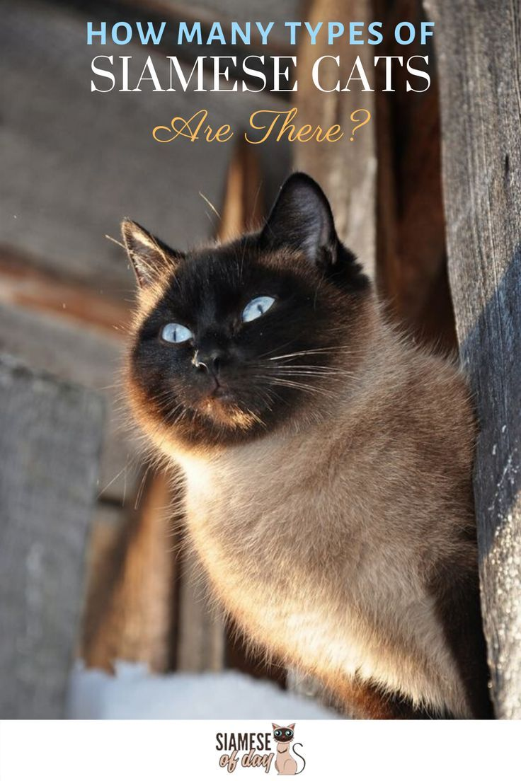 Types Of Siamese Cat In 2020 Siamese Cats Munchkin Kitten Cats