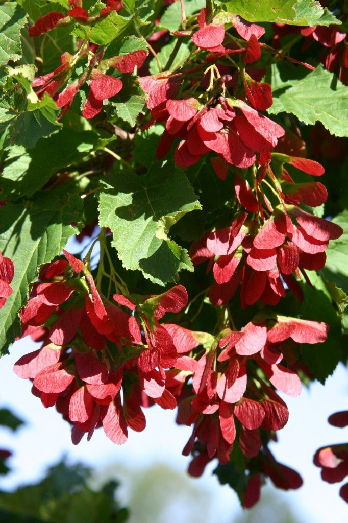 136 best images about waterwise trees on pinterest trees for Small ornamental trees