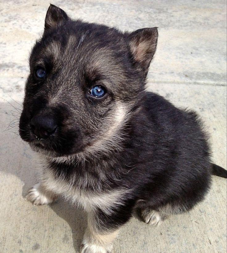 My new puppy that I got last night! He's a German Shepard/Husky mix.