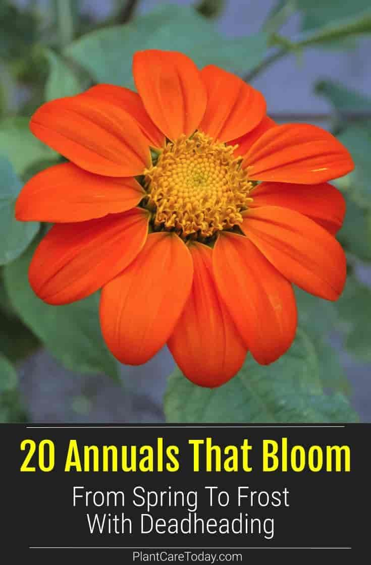 20 Annuals That Bloom From Spring To Frost With Deadheading In 2020 Container Gardening Flowers Bloom Inside Plants