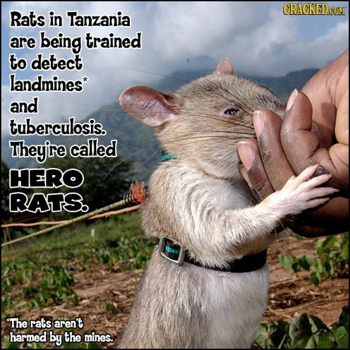 Tanzanian rats are being trained to detect landmines and ...