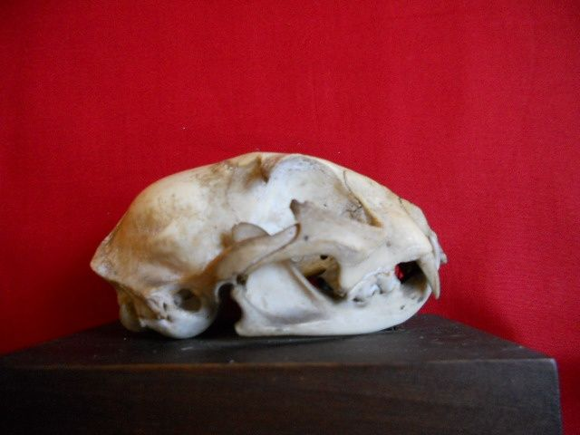 Skull of the cat | Fleaglass Antiques For Sale