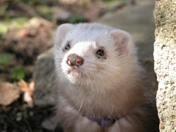 Miejsce fretek w świecie zwierząt:  http://kakadu.pl/Fretki/miejsce-fretek-w-wiecie-zwierzt.html