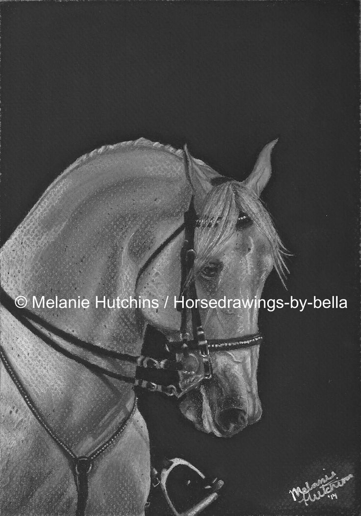 """Focus"". A portrait of a Lipizzaner Stallion. Copyright Melanie Hutchins / horsedrawings-by-bella  Follow me on Facebook: https://www.facebook.com/Horsedrawingsbybella.MelanieHutchins Twitter: https://twitter.com/MelHTheArtist YouTube: https://www.youtube.com/channel/UCZDEjNKuowAo92BhnMWWBzA"