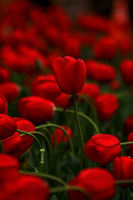 *RUBY RED TULIPS
