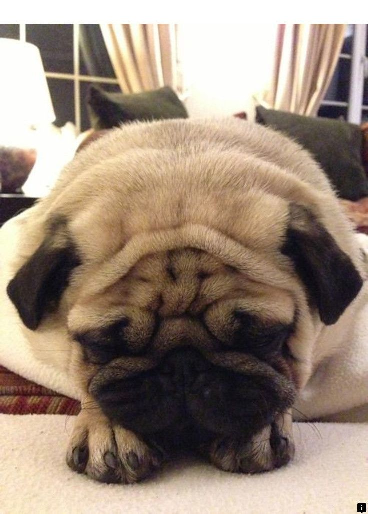 Discover More About Pug Price Just Click On The Link For More