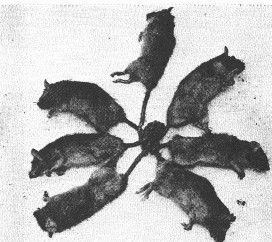 Rat kings are phenomena said to arise when a number of rats become intertwined at their tails. Historically, there are various superstitions surrounding rat kings, and they were often seen as an extremely bad omen, particularly associated with plagues.