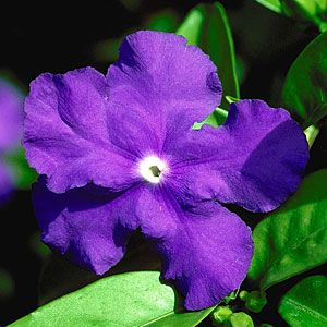 20 colorful plants for shade gardens | Yesterday-today-and-tomorrow (Brunfelsia pauciflora 'Floribunda')   | Sunset.com
