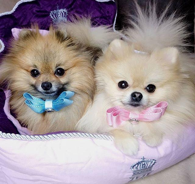 Happy Mother S Day Happy Birthday To Our Lovely Princess Shila Shila The Pom We Love You Shamika Elvis Pommy Boys Comment Bel Pomeranian Spitz