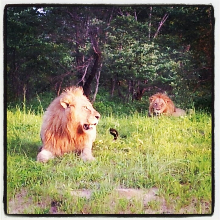 Lions in Bwabwata National Park, Namibia