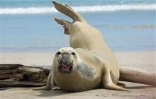 Elephant seal on the Chatham Islands. Photo: Leon Berard (CC BY-NC 2.0).