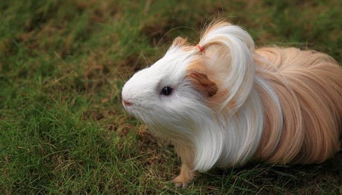 22 best diario de cobayas images on pinterest animal - Informacion de cobayas ...