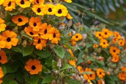 More commonly known as Black Eyed Susan, Thunbergias are very vigorous, fast-growing annual climbers that will quickly scramble over a garde...