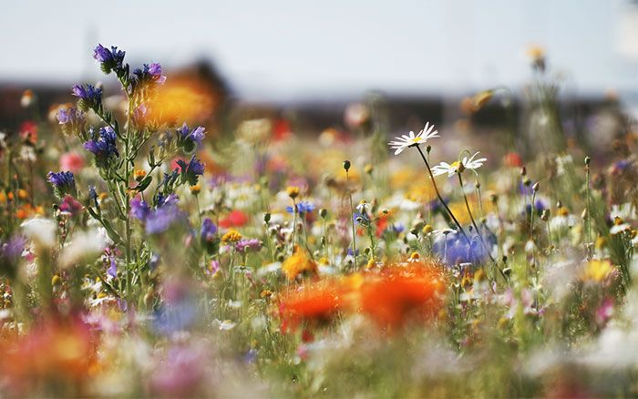how to sow a wildflower-meadow