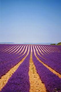 Ultimissime dall'orto: contadini, giardinieri o pittori? - campi di lavanda in Provenza, Francia