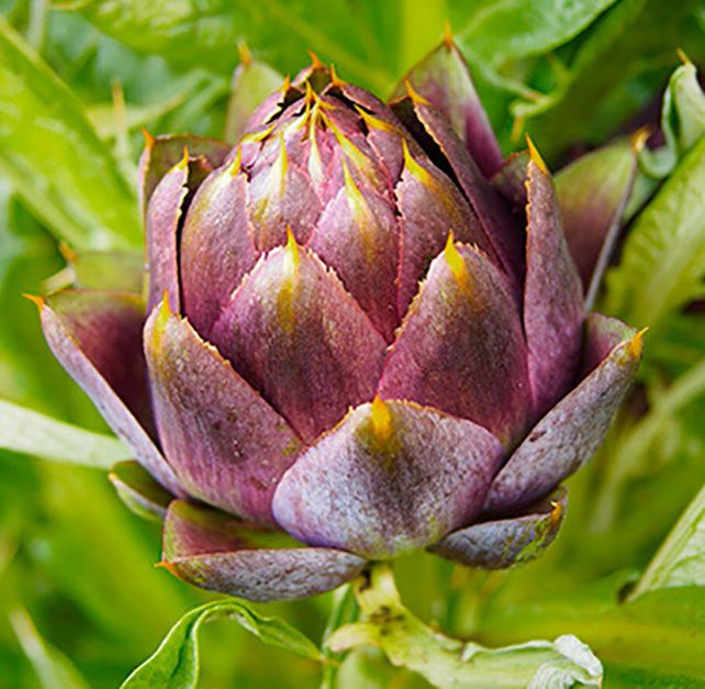 Artichoke Purple Romagna. Artichoke plant grows to 1.4–2 m (4.6–6.6 ft) tall, with arching, deeply lobed, silvery, glaucous-green leaves 50–82 cm (20–32 in) long. The flowers develop in a large head from an edible bud about 8–15 cm (3.1–5.9 in) diameter with numerous triangular scales; the individual florets are purple. | eBay!