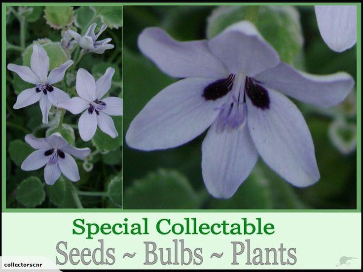 ANOMATHECA AZUREA **Special Seed ** | Trade Me