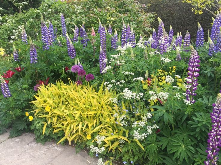 A deep border filled with rich, saturated colours of purple lupins and alliums, white Anthriscus sylvestris and a yellow variegated carex.