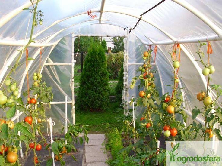 Domowe pomidory z tunelu foliowego:)